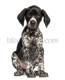 German Shorthaired Pointer, 10 weeks old, sitting against white background