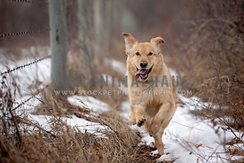 A golden retreiver running along the fence line in the winter