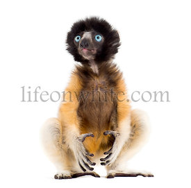 4 months old baby Crowned Sifaka sitting against white background