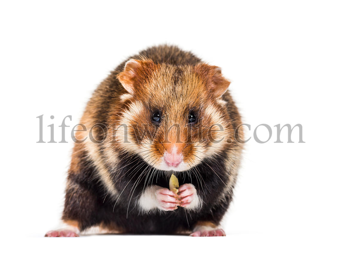 European hamster, Cricetus cricetus in front of white background