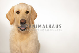 Yellow labradoodle  dog isolated on white background