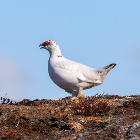 Rjúpa_-_Rock_ptarmigan_Iceland_emm.is-11