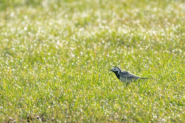 White wagtail in dewed meadow 2
