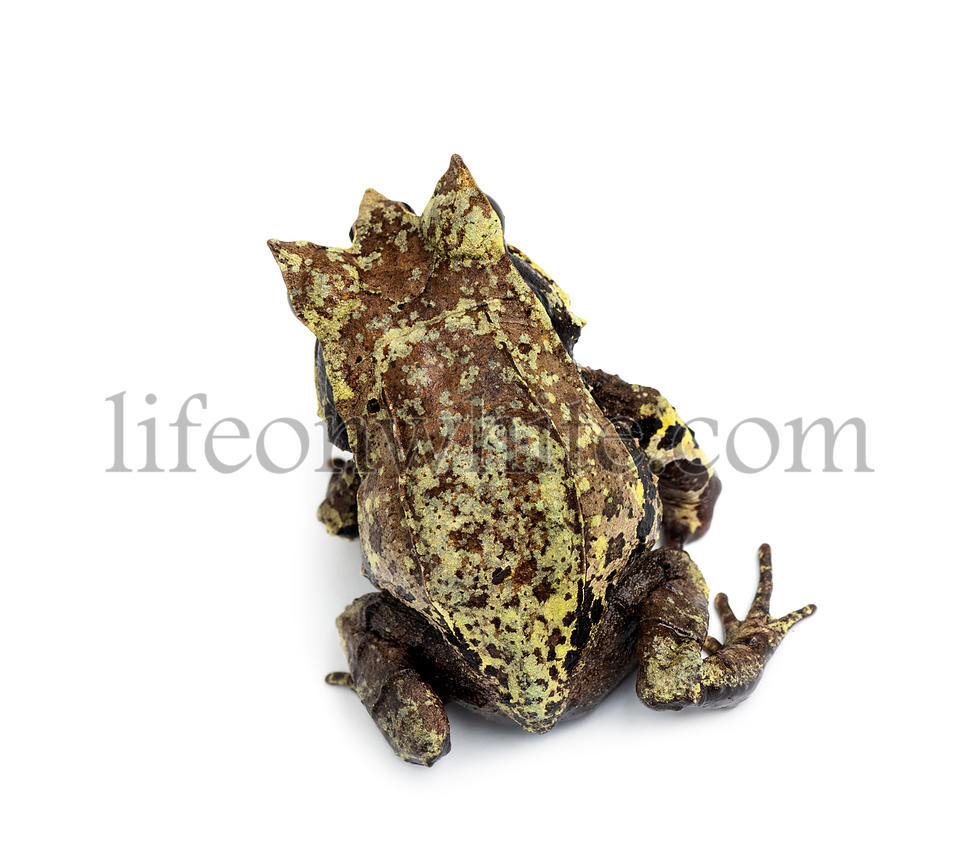 Top view of a Long-nosed horned frog, Megophrys nasuta, isolated