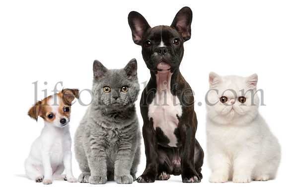 Group of dogs and cats in front of white background