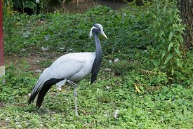 The black-necked crane , Grus nigricollis