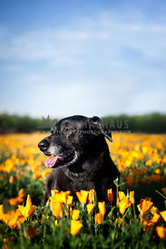 Senior Black Shepherd Lab Mixed Breed Dog Shining in the Sun Sitting with Blue Sky in Field of Flowers
