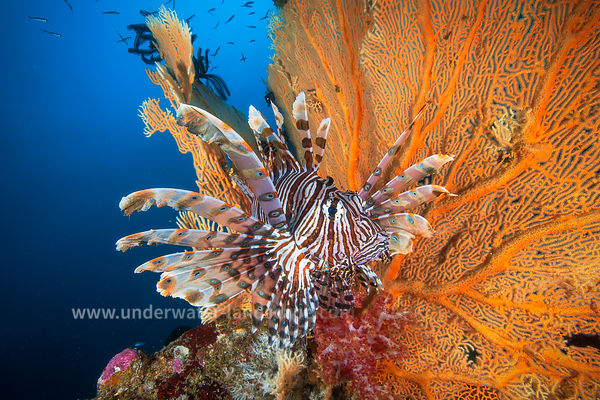 Lionfish of Andaman Sea