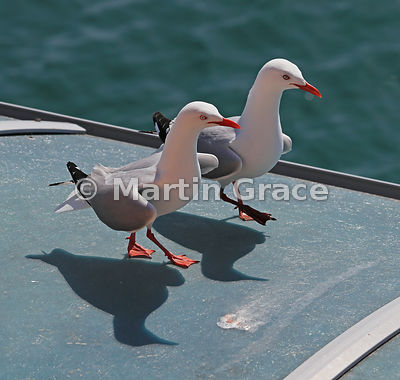 Two Red-Billed Gulls (Larus novaehollandiae scopulinus) walking along the roof of a shelter, Gulf Harbour, Auckland, North Is...