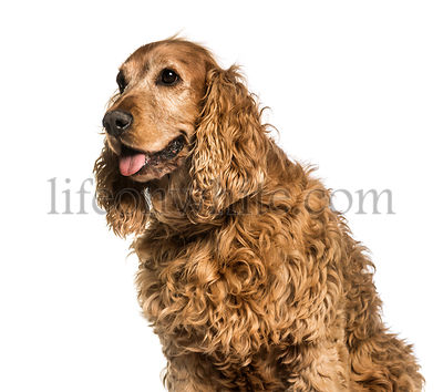 Old English Cocker Spaniel, 10 years old sitting against white background