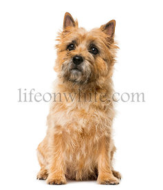 Cairn Terrier (5 years old) in front of a white background