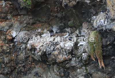 Spotted Shags (Blue Shags) (Stictocarbo punctatus) nesting on a cliff, Stewart/Rakiura & Ulva Islands, South Island, New Zealand