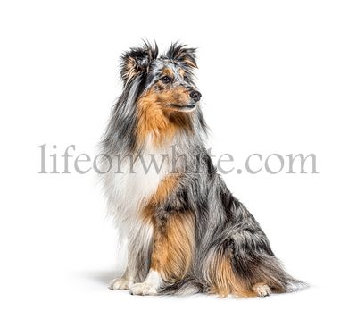 Sitting Blue merle Sheltie isolated on white