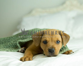 Tan puppy snuggles under green knitted blankey on white bed with headboard