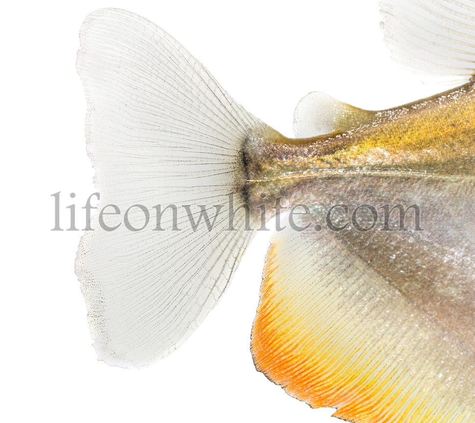 Close-up of a Mylossoma aureum\'s caudal fin, isolated on white