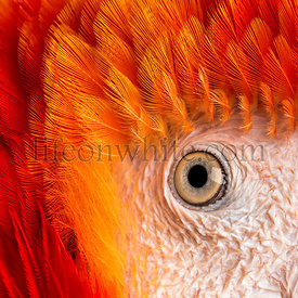 Close-up on a Scarlet Macaw\'s eye (4 years old) isolated on white
