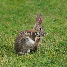 Young European Rabbit (Oryctolagus cuniculus) (Lepus cuniculus) on a garden lawn, scratching its chin, Lyth Valley, Lake Dist...