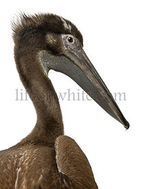 Close-up headshot of young pink-backed pelican, 2 months old, standing in front of white background