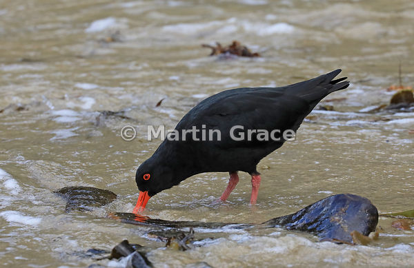 Dark morph Variable Oystercatcher (Black Oystercatcher) (Haematopus unicolor) feeding on Butterfield Beach, Stewart Island, S...