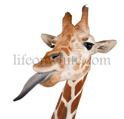 Somali Giraffe, commonly known as Reticulated Giraffe, Giraffa camelopardalis reticulata, 2 and a half years old close up aga...