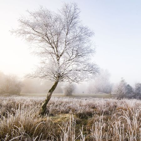 Lone tree with hoar frost