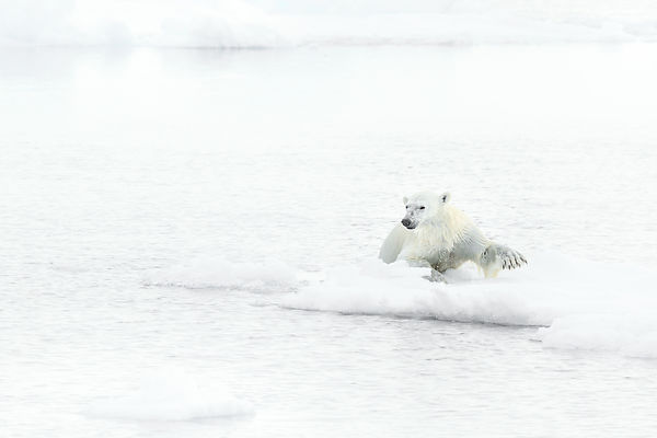 Polar Bear On The Drift Ice