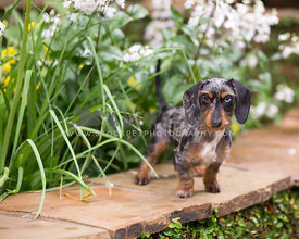 Piebald Doxie in garden on flagstone