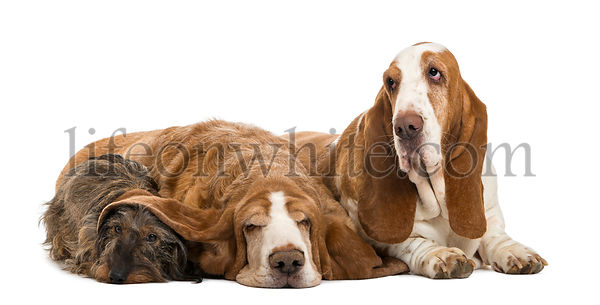 Two Basset Hounds and a Dachshund lying, isolated on white, isolated on white