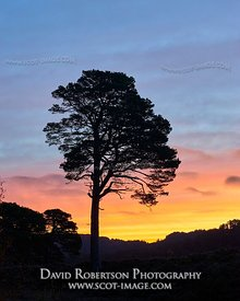 Image - Single Scots Pine silhouetted by the sunrise, Glen Affric, Inverness, Highland, Scotland.