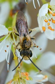 Vertical closeup of a male  orange-tailed mining bee, Andrena haemorrhoa, on white flowers of blackthorn, Prunus spinosa