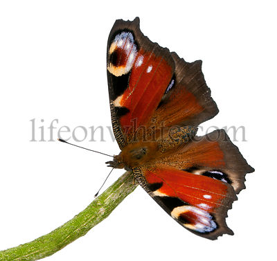 European Peacock butterfly, Inachis io, on a branch in front of white background
