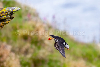 Puffin flying away from stony ledge