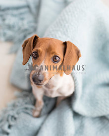 Happy dachshund with blanket sits and smiles in natural light