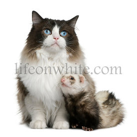 Ragdoll cat and a ferret sitting in front of white background