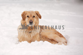 A serious looking dog laying in the snow