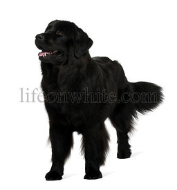 Newfoundland dog, 1 year old, standing in front of white background