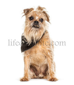 Old Griffon Bruxellois dog showing the tartar on its tooth, isolated on white