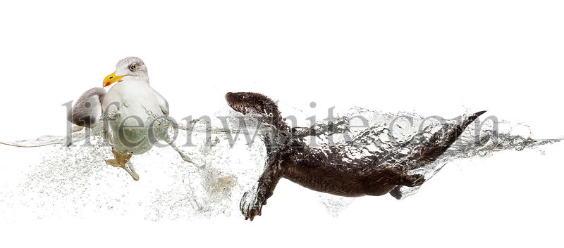 European Otter swimming to an European Herring Gull gooing  away