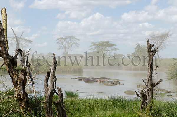 Hippos in  river in Serengeti National Park, Tanzania, Africa