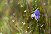 Blue Harebell in dewed grassland