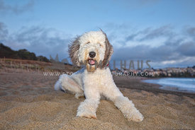large sheepadoodle laying on the beach with big blue sky behind