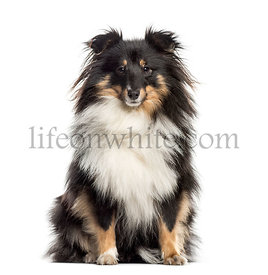 Shetland Sheepdog sitting (1.5 years old)