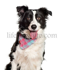 Panting Border collie looking at camera against white background