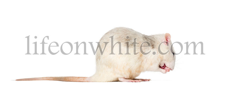 Domestic rat sitting against white background