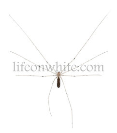 Spider, Holocnemus pluchei, in front of white background