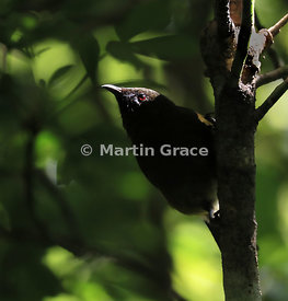 Bellbird (Anthornis melanura) in dense vegetation, Tiritiri Matangi, Hauraki Gulf, North Island, New Zealand