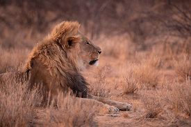 Male Lion at Sunset, Namibia
