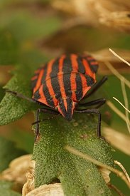 Frontal closeup of the red shieldbug , Graphosoma italicum on a green leaf