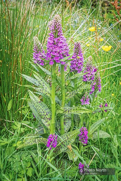 ORCHID 09A - Hybrid common spotted and northern marsh orchids