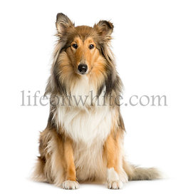 Scotch Collie sitting in front of a white background